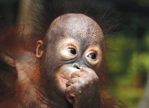borneo_baby-orangutan-1600x1600