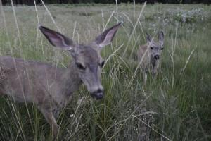 Oh Deer! Photo: Ali Donaldson